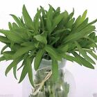 Tarragon Plant Seeds- Also known Dragon Herb  Both  Medicinal And  Culinary Herb