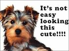 YORKIE YORKSHIRE TERRIER IT'S NOT EASY LOOKING CUTE - METAL PLAQUE TIN SIGN 446