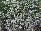 White baby's breath,flowers seed,Cut Flowers,hanging baskets ,window boxes