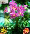 Mesprout 5 Bulbs Color Mixing Not Zephyranthes Plant