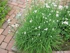 Garlic Chive 300 to 1LB Seeds Many Sizes Plant Grow Free Ship Best Prices Herb 2
