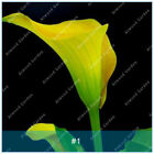 Calla Lily Bulbs Not Seeds Rare Bulbs, 6,8,10,12,16Pcs,Yellow Green,Very Special