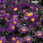 Aster alpinus 'Dark Beauty' Perennial Violet-Blue, Daisy-like Flower Seeds