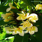 Galleria fotografica 100Pcs Seeds Plumeria Hawaiian Foam Frangipani Flower For Wedding Party Decorati