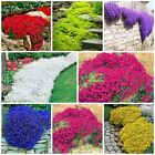 100 PCS Creeping Thyme Seeds or Blue ROCK CRESS Seeds - Perennial Ground cover