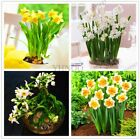 100 Pcs Beautiful Bonsai Daffodil Flower Seeds Clean Air Narcissus Flowers