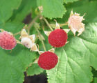 Thimbleberry cuttings (Rubus parviflorus)