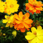 Cosmos Bright Lights 100-500 Flower Seeds Yellow and/or Orange Organic Heirloom