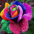 100PCS Rainbow Rose Flower Seed Holland Seeds Lover Gift Orange Green RARE Color
