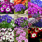 50pcs Ground-cover Chrysanthemum Seeds Perennial Daisy Flower Seeds Mix Color KZ