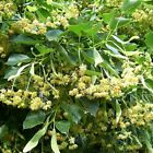 American Linden Tree Seeds (Tilia americana) FROZEN SEED CAPSULES