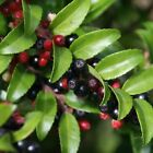 Evergreen Huckleberry Seeds (Vaccinium ovatum)