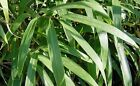 Arrow Metake japonica Privacy Hedging Bamboos - Large plants