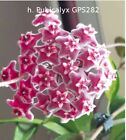 Hoya young house plant or unrooted cutting <br/> One postage fee. Free cuttings when you buy 2 or more.