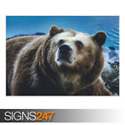 BIG BROWN BEAR WILD ANIMAL (AE915) - Photo Picture Poster Print Art A0 to A4