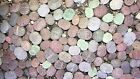 50 Lithops (not seads) Living Stones Mesembs real plants Exotic Plant Succulent