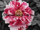 Pink White Peony Flower Black White Flower Home Wall Decor Matted Picture A216
