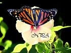 Monarch Butterfly on Flower Matted Picture Home Wall Art Room Decor A358