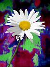 Daisy on Abstract Background Matted Picture Art Print Home Decor A403