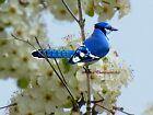 Jaunty Blue Jay on Soft Spring Flower Signed Matted Picture Fine Print A682