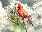 Cardinal Red Bird White Flower Blossom Nature Cottage Chic Matted Picture A680