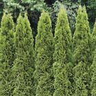 American Arborvitae,  White Cedar,  Thuja Occidentalis,  Tree Seeds
