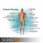 EDUCATIONAL ANTERIOR MUSCLE POSTER SET (1049) Poster Print Art A0 A1 A2 A3 A4