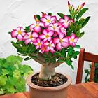 5/20pcs Adenium Obesum Seeds Desert Rose Perennial Flower Garden Bonsai Plant cheap