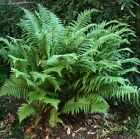 Dryopteris Affinis Fern Golden male Fern Semi Evergreen.