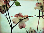 Soft Spring Dogwood Blossoms Original Signed Matted Picture Art Print A843