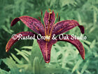 Rain Drops on Red Lily Flower Original Signed Matted Picture Photo Print A200