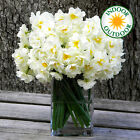 NARCISSUS BRIDAL CROWN INDOOR OUTDOOR DAFFODIL SPRING FLOWERING BULBS PLANTS