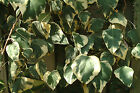 Gloire de Marengo Ivy. Large specimen plants 5+ft tall plants
