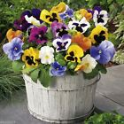 Pansy Seeds - St. Ravel Mix - No garden is complete without  Pansy - Biennial