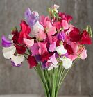 Mammoth Choice Mix Sweet Pea Seed . Excellent for cut flowers