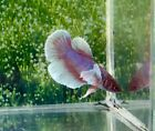 #201 Thai Import Red White Blue Female Dumbo Big Ears Halfmoon Betta Live Fish