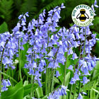 HYACINTHOIDES NON-SCRIPTA BLUEBELLS SPRING FLOWERING BULBS PLANTS