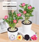 Rare Adenium Obesum Desert Rose Plant Grafted Easy Care Double Flower