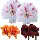 2Pcs Amaryllis Bulbs Plant Seeds Hippeastrum Flower Home Garden Balcony Advanced