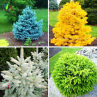 20 Pcs Colorado Blue Spruce Seeds, Rare Seeds Evergreen PICEA PUNGENS For Home