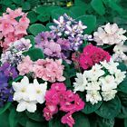 200 seeds African Violet red green black yellow rose orchid Matthiola Incana