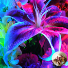 2 pcs/bag Rare Blue Lily Bulb, Not Lily Seeds, It Is Bulb Home And Garden Plants