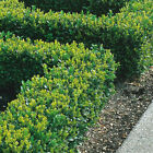 Box Hedging Plants 20-40cm Buxus Sempervirens Dense Evergreen Hedge Potted