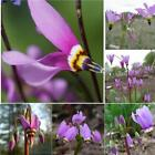 Home Gardening Ornamental Plants Shooting Star Flower Seeds HYFG