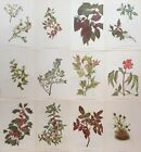 Vtg Botanic Print Lot SET 12X Berries Evergreen Trees Mary Walcott SEE VARIETY