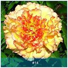 Peony Bulb Flowers Bulbs Potted Home Garden Balcony Plant Fragrant Perennial