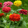mazing 400pcs Light Flor Mixed Zinnia Semillas Seed Multiple Layer