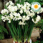 Narcissus Paperwhite Indoor Outdoor Daffodil Spring Flowering Bulbs Plants