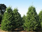 Balsam Fir,  Abies balsamea,  Tree Seeds (Fragrant Hardy Evergreen,  Bonsai)