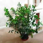 1 Christmas Holly Red Berry Outdoor hardy Shrub Garden Decoration Plant in Pot